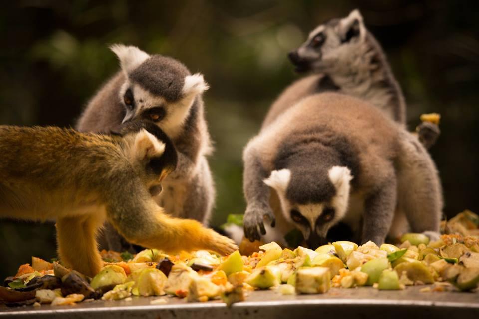 Squirrel Monkey And Ringtail Lemurs On A Feeding Station